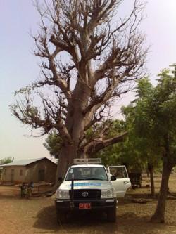 Baobab-puu.