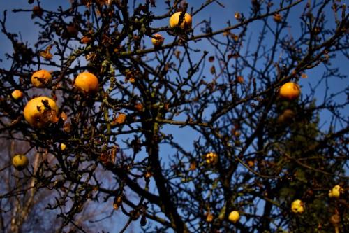 Viimeiset omenat