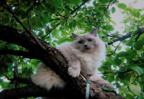 Kissa omenapuussa.