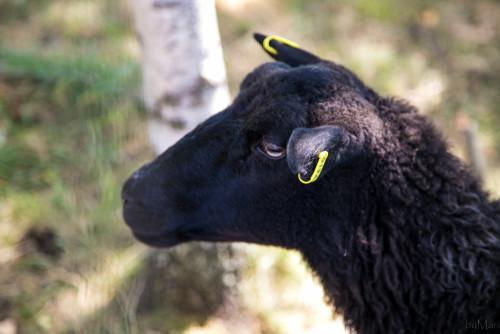Mmäää, Kela-lammas!